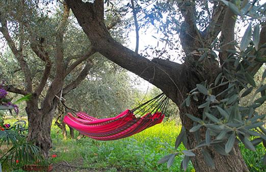 צימר בין עצי הזית